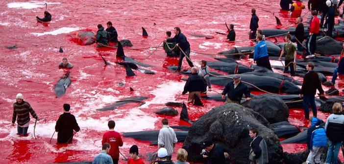grindadráp: uccisi in un solo giorno 228 delfini nelle isole faroe.