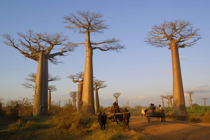 I baobab millenari dell'Africa muoiono a causa del cambiamento climatico